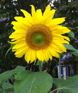 Mammoth Sunflower in Laura's Garden