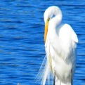 Great Egret at Merritt Island