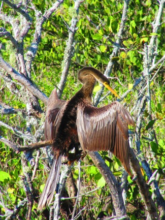 Anhinga at Green Cay Wetlands