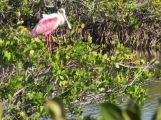 Roseate Spoonbill, Merritt Island