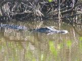 Gator at Merritt Island