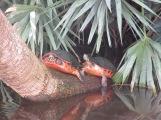 Turtles at Green Kay