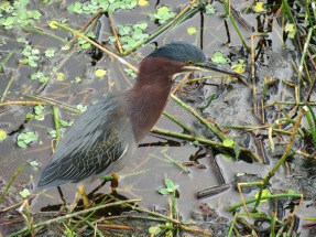 Green Heron at Green Cay Wetlands