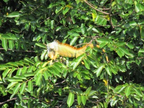 Iguana at Green Cay Wetlands